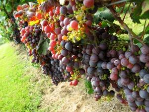 harvest-grape-vines-cabernet-franc